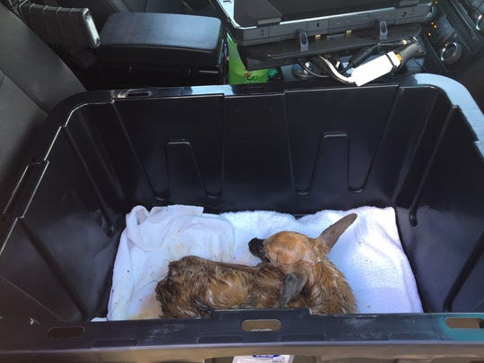 A newborn fawn awaits transport in a Fond du Lac County
