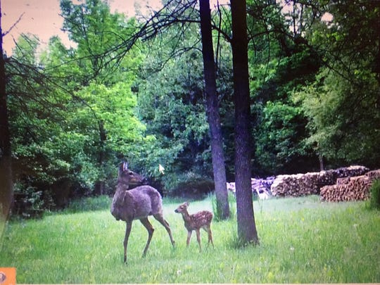 Frank Zeman of Princl Road, Mishicot, shares a photo of a three-legged doe and her fawn. This is the second year in a row she and her fawn have shown up on film.