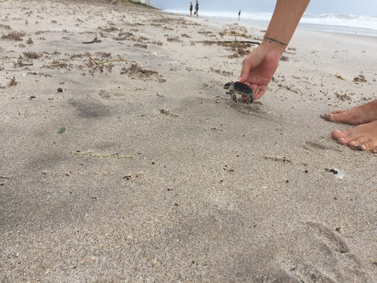 Hurricane Irma washed back baby sea turtles, many of which died. Hundreds were rescued and taken to Brevard Zoo, which will later release them.