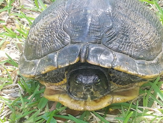 The yellow-bellied slider is a small turtle native