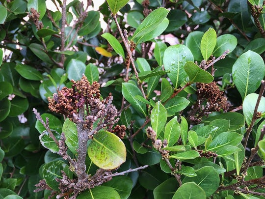 Cocoplum is a much used plant for hedges, buffers, and small trees. Cocoplum can be infected with Witch's Broom which is often spread by pruning tools