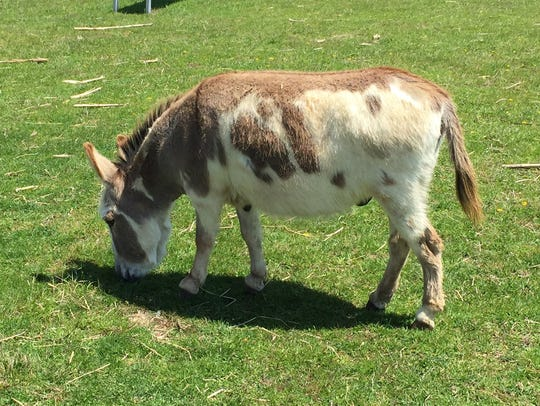 Donkey the, well, donkey, grazes at Coombs Barnyard.