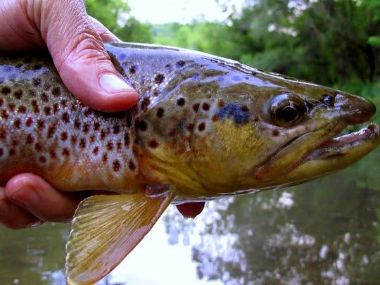 A trout comparison.