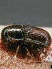 The dreaded Southern pine beetle.