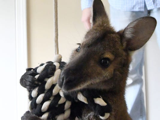 636578593203399262-Jeff-the-Wallaby-13.jpg