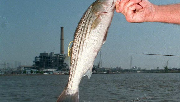 Striped bass took center stage  during the four-day holiday weekend.