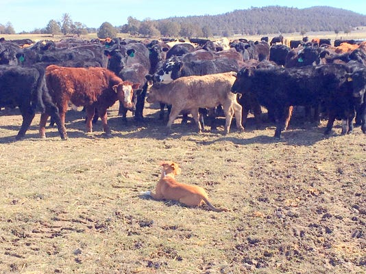 Cattle-and-Dog