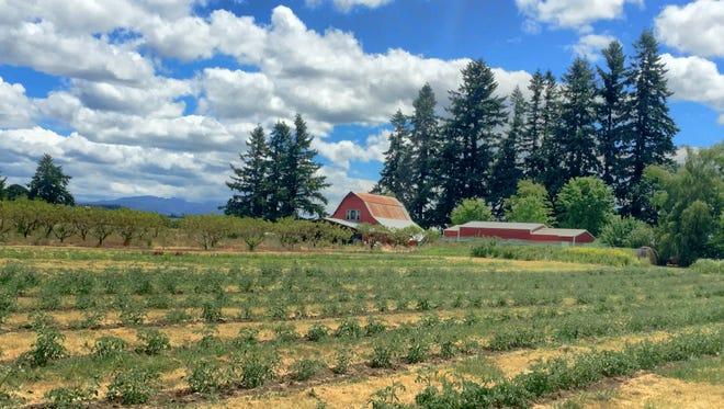 Heirloom u-pick tomatoes plants at Scio's organic Queener Farm.