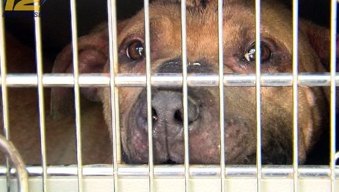 """One of the dogs rescued from a New Street home in Asbury Park Wednesday, June 1, 2016, as part of a federal investigation into an interstate dog-fighting network in which canines were set up to maul each other, often until death, authorities said. Mario Atkinson, 40, of 905 New St. was identified as a """"key player'' in a dog-fighting ring that authorities said reached from New Jersey to New Mexico."""