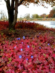 Leadwort, also known as plumbago, at Minnetrista.