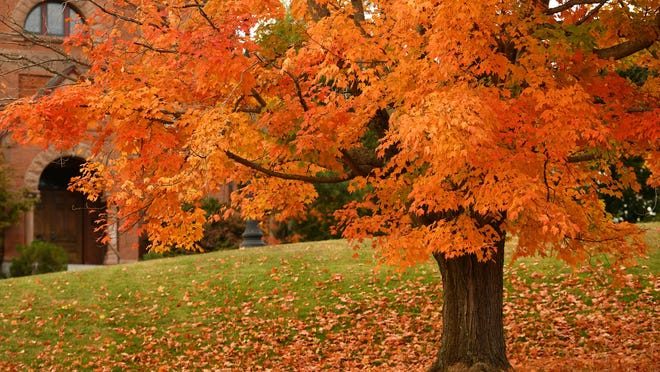 PRINCETON - A Maple tree reaches peak color on the Princeton Common, in front of Bagg Hall on Sunday.