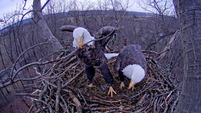 A high-definition camera captures the image of an eagle as it picks up a stick at the Heidelberg Township nest in 2014 nest while its mate sits nearby