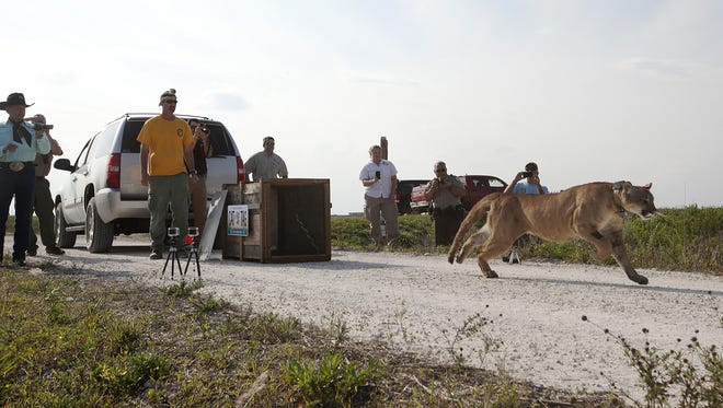 Amber Crooks will speak about the Florida Panther in Peril on April 2.