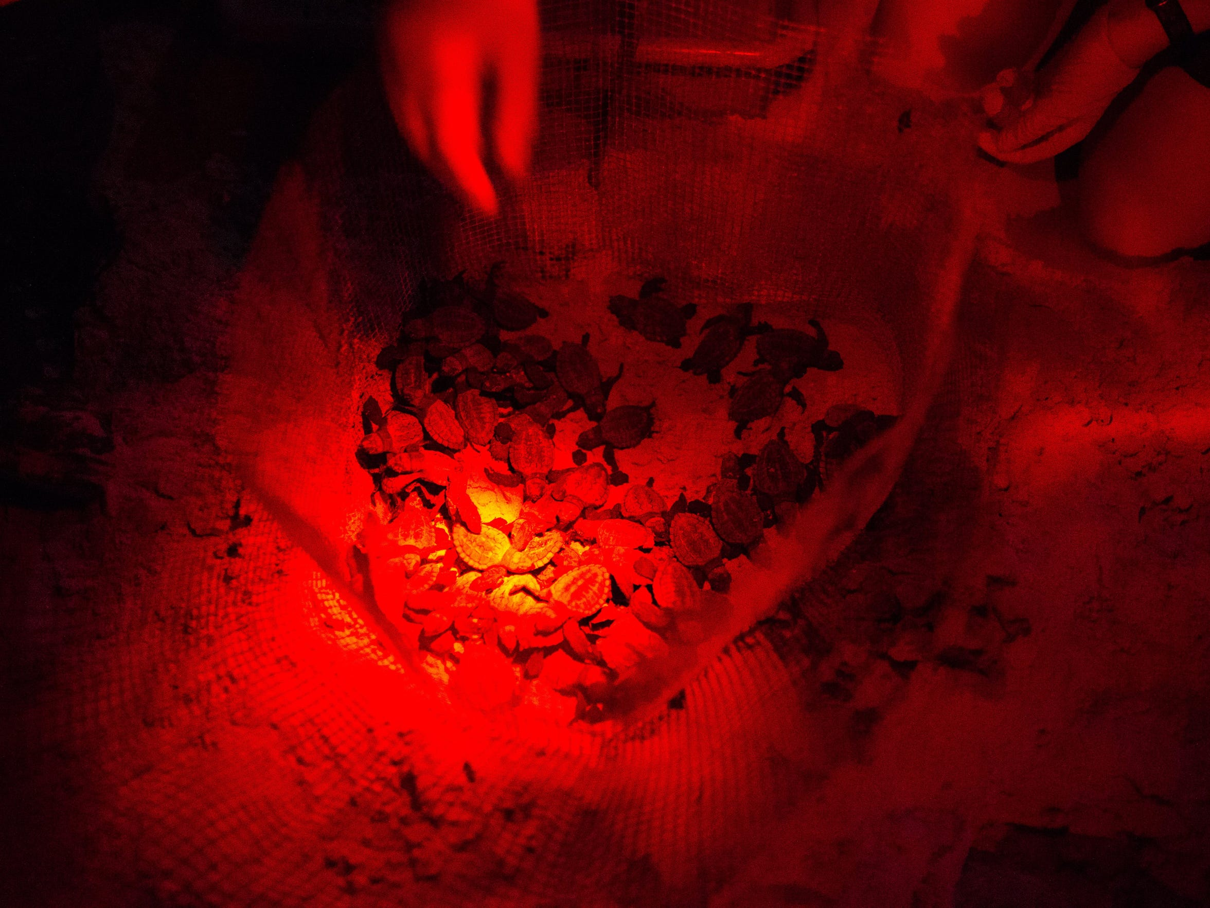 Biological Science Technician Meg Streich uses red headlamps for light counts hatchlings as she removes them from their nest and prepares to release them into the Gulf of Mexico, Monday, July 18, 2016. The cabins last nest hatched 67 Kemp's ridley sea turtle hatchlings.
