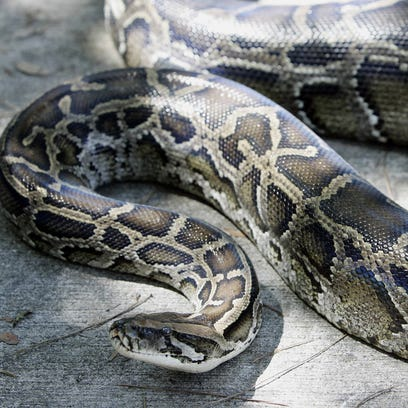 A Burmese python captured in south Miami is seen.