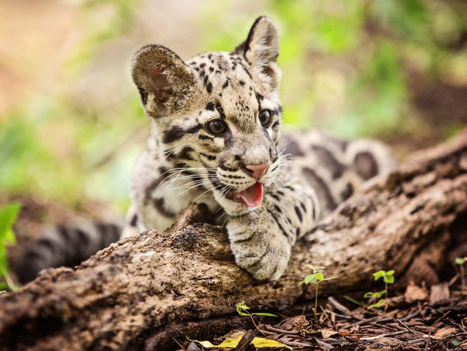 A clouded leopard cub takes a break from playing in