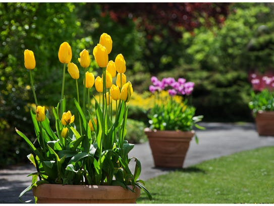 Grow bulbs, including tulips, in containers.