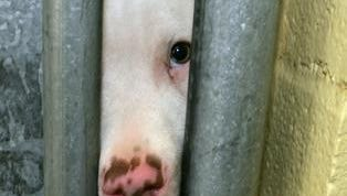 A pit bull peers out from the opening of a door jam to its pen in the Denver Animal Shelter in this photograph taken June 23, 2005.