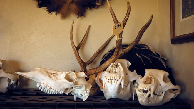 """In this July 11, 2017 photo, animal skulls, each with a hunter's tag, have been prepared for """"European mounts,""""a taxidermy method of mounting a trophy which displays just the prepared skull of the animal at Ken Hansen's workshop near Lyle, Wash."""
