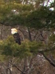 A bald eagle scans Meach Cove in Shelburne. Photographed