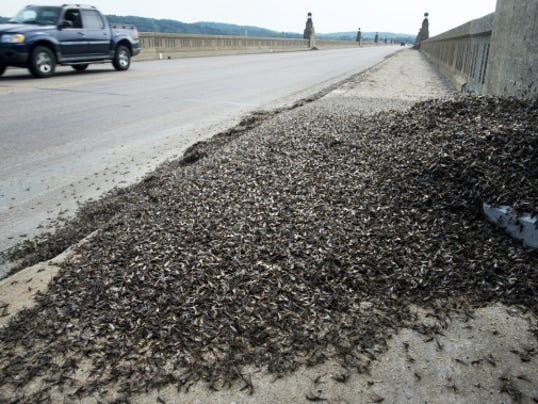 Mayflies piled up near the York County shore Sunday beneath a light post on the Columbia-Wrightsville bridge over the Susquehanna River.