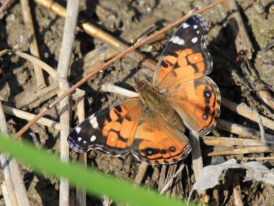 636638440012629043-American-Lady-Butterfly-Concho.JPG