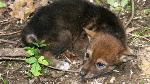 This photo provided by the Jackson Zoo shows Nashoba Hikiya, one of the zoo's seven endangered red wolf pups on April 28, 2014. The pups are among eight born March 30 at the zoo in Jackson, Mississippi. This female was named by students at Standing Pine Elementary School, and her name means ?Standing Wolf? in Choctaw.