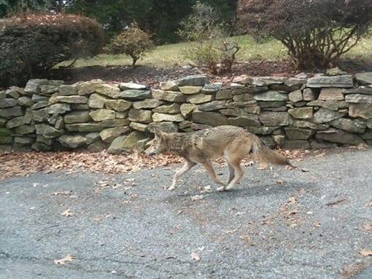 Yonkers coyote.jpg