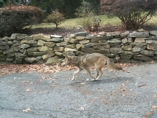 A coyote was captured and killed in Dunwoodie Golf