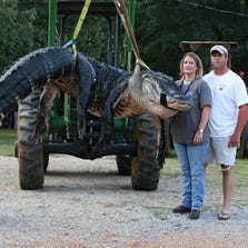 Officials had to use a backhoe to life a huge gator that was caught in by Mandy and John Stokes (right) and the Jenkins family.