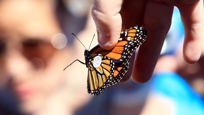 A monarch butterfly is tagged in preparation for its release during Monarch Madness on Oct. 21, 2016, at Fennessey Ranch in Refugio.