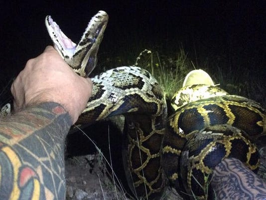 Could a super snake emerge from Everglades pythons? New DNA study raises possibility