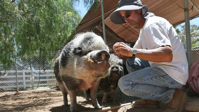 Marty Koontz, co-owner of the Grazin Pig Acres rescue ranch, feeds one of the pot-bellied pigs living on the ranch run by Koontz and his wife, Nancy Koontz, Tuesday July 14, 2015 in Ramona, Calif.
