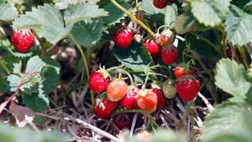 A tale of Wisconsin's ripening strawberries