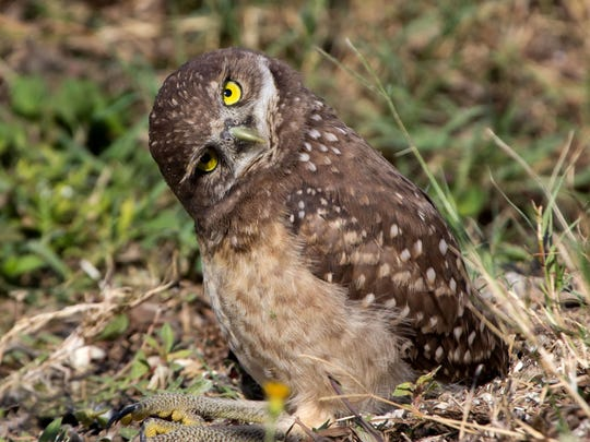 An adult burrowing owl.