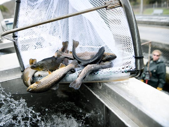 Danny Rivera dumps a net full of trout into a tank