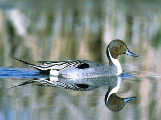 A Pintail drake swims.
