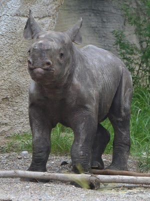 Cincinnati Zoo's black rhino calf, Kendi, is three weeks old.