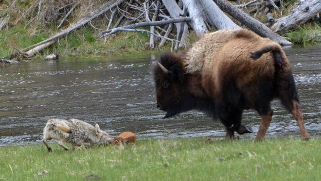 A bison protects her calf from a coyote at Yellowstone National Park.