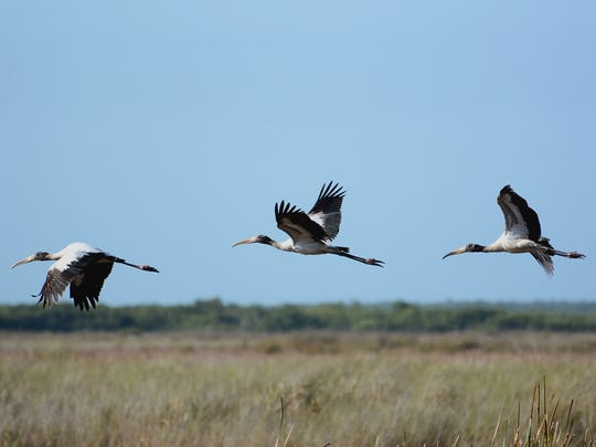 When you don't happen to see wood storks feeding in shallow water, look up into the sky. There's a good chance you will see these birds soaring in circles.