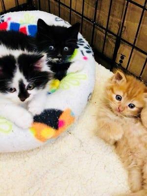 Kittens at the Nevada Humane Society in Reno.