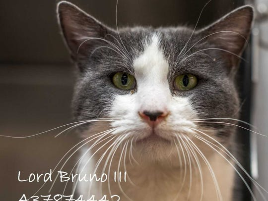 Lord Bruno III - Male (neutered) domestic short hair,