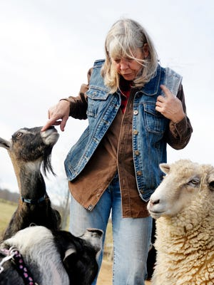 Kristi Dimond Maher conducts a meet-and-greet with a goat and a sheep for Tudy, the newly-arrived pot-bellied pig on Friday, Nov. 27, 2015, at Blue Hound Farm in Newberry Township. Maher, who has operated the farm where many rescued or adopted animals have come to live, volunteered to adopt a pot-bellied pig who was found abandoned with two Pomeranian mix dogs in September. The pig and dogs have lived in a Berks County shelter, whose manager insisted they be adopted together since they share a strong bond. The pig, now named Tudy, and the dogs, currently renamed Pom and Chichi, join several other pigs, dogs, goats, sheep, horses, cows, chickens and a cat at Blue Hound Farm.