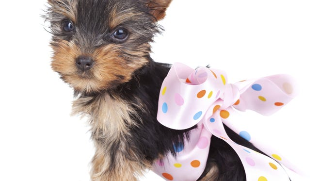 Yorkshire puppy in a pink bow.