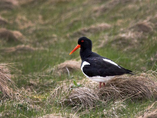 The Tjaldur, or Oystercatcher, is a common bird in