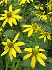 Sochan, also known as green headed coneflower, is a