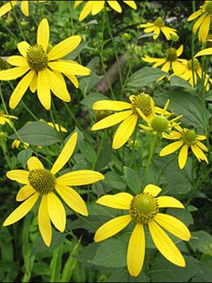 Sochan, also known as green headed coneflower, is a spring green traditionally harvested by the Cherokee in the Great Smoky Mountains National Park, well before the park was established.