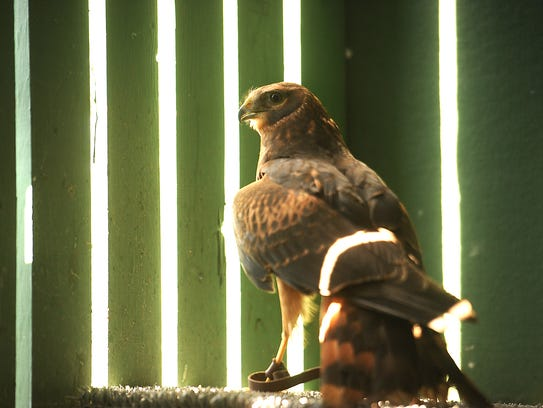 Noha, a northern harrier, is among the birds that have lived at the Ojai Raptor Center, which is normally closed to the public. The facility is putting on an open house on Sunday.