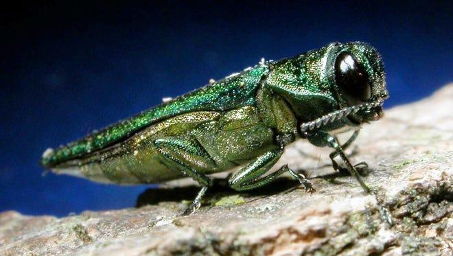 Associated Press An adult emerald ash borer.