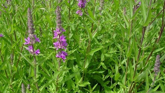 Purple loosestrife.
